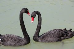 Two black swans. Creating a heart shape stock photography
