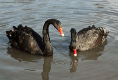 Two black swans (Cygnus atratus) Royalty Free Stock Image