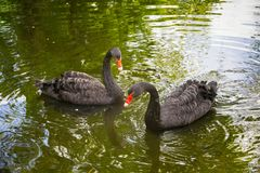 Two black swans Cygnus atratus. In the green water of a pond royalty free stock photo