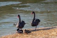 Black swan Cygnus atratus. Wild life animal. Two black swans Cygnus atratus resting near the pond royalty free stock images