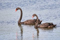 Two Black swans Cygnus atratus in water. Two Black swans Cygnus atratus swimming in water royalty free stock images