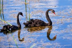 Two Black swans Cygnus atratus in water. Two Black swans Cygnus atratus swimming in water royalty free stock photos