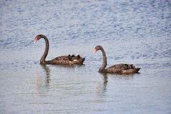 Two Black swans Cygnus atratus in water. Two Black swans Cygnus atratus swimming in water stock photo