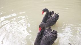Two black swans float in the lake. Love couple of black swans. Beautiful wildlife concept. close-up, 4k, slow-motion stock footage