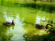 Two black swans float in the lake. Love couple of black swans. Black swans mating dance. stock photo