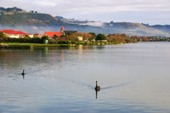 Two black swans floating on the lake at foggy morning Royalty Free Stock Photography