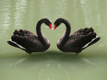 Two black swans forming a heart Stock Image