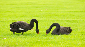 Two black swans on green grass. Two black swans feeding on the bank of the River Torrens in Elder Park, Adelaide, South Australia Royalty Free Stock Images