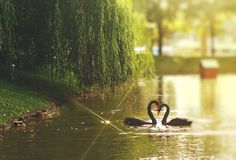 Swan black two close heart neck lake. Two black swans kiss and make a heart from the neck Royalty Free Stock Photo