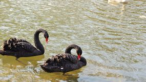 Two Black Swans in Love royalty free stock photos