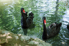Two black swans  in a pond Royalty Free Stock Image