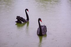 Two Black Swans in a pond stock photo