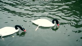 Two black swans in pond. Two black necked swans in a pond eating food from water stock video footage