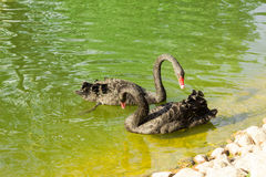 The two black swans. Black swan graceful motions are reflected on the calm water of the lake, give a person with beautiful enjoyment. In the beautiful natural Royalty Free Stock Photos