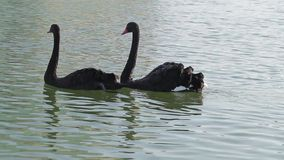 Two black swans. Swans swim in the lake stock footage