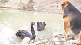 Two black swans swim in the lake. a pair of black swans protect their pond from the dog that sits on the shore. they are stock video footage