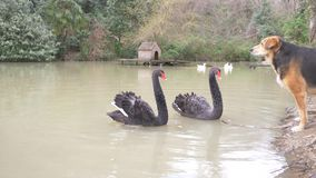 Two black swans swim in the lake. a pair of black swans protect their pond from the dog that sits on the shore. they are stock video