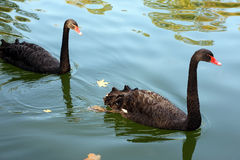 Two black swans are swimming in the autumn pond Royalty Free Stock Photography