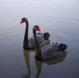 Two Black Swans Royalty Free Stock Image