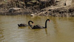 Two black swans swimming in a pond stock video