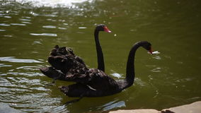 Two black swans swimming in the pond. Two beautiful black swans swimming in the green pond at day stock video footage