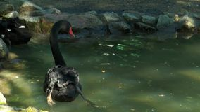 Two black swans swimming in a small pond stock video footage