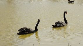 Two black swans swimming together in pond stock footage