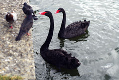 Two black swans and three pigeons. Portrait of two black swans in the water and three pigeons on the ground Royalty Free Stock Images