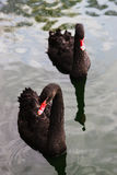 Two black swans Royalty Free Stock Photography
