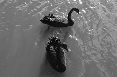 Two black swans Stock Photos