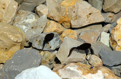 Two Black tadpoles in the pond with rocks in the mountains Royalty Free Stock Photo