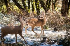 Two Black tailed deer;. Black tailed deer in the forests on the top of Mt Hamilton on a rare winter day with snow, San Jose, south San Francisco bay area stock photos