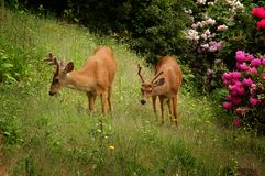 Two black-tailed deer on grass. Two young male black-tailed deer (Odocoileus hemionus) on green grass Stock Photos