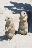 Two black-tailed prairie dog standing Stock Image