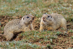 Prairie dog (cynomys ludovicianus) Stock Photography