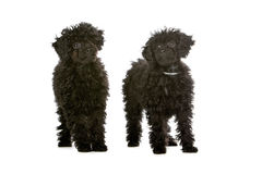 two black toy poodle puppies stock photos