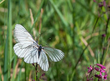 Two Black-veined White butterflies on one flower Royalty Free Stock Photo