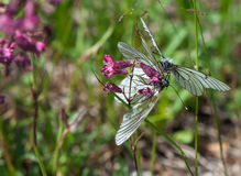 Two Black-veined White butterflies on a purple flower Stock Photo