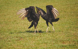 Two black vultures - Coragyps atratus mating dance Stock Photos