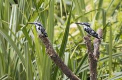 Two Black-and-white Bird Royalty Free Stock Photo