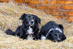 Two black and white border collies on the hay Stock Photo