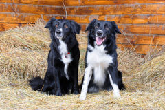 Two black and white border collies on the hay royalty free stock image