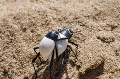 Two black and white bugs carrying each other piggyback over hot sand of Namib Desert in Angola. This behaviour and their white color shows an amazing Stock Images