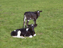 Two black and white calves Royalty Free Stock Photography