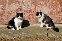 Two Black and white cats near house. Black and white adult cats. Two Black and white cats sitting on the ground Stock Photos