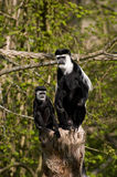 Two Black & White Colubus Monkeys Royalty Free Stock Photo