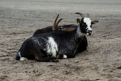 Two black-white goats Stock Images