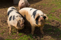 Two black and white pigs with spots in a field Stock Photography