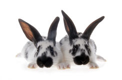 Two black and white rabbits. Isolated on white background stock images