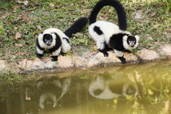Two Black and white ruffed lemur Royalty Free Stock Photos